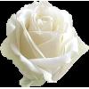 Rose Ruža - Plantas -