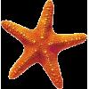 Morska zvijezda - Ilustracije -