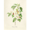 Apple Blossom Illustration - Background -