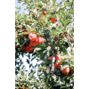 Apples - Nature -