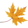 Autumn Leaves - Plants -