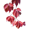 Autumn Leaves - Rośliny -