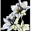 Azalea in Bloom - Plants -