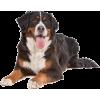 Bernese Mountain Dog - Životinje -