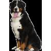 Bernese Mountain Dog - 動物 -