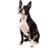 Boston Terrier - Animali -