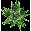 Cactus - Rastline -