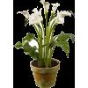 Calla lily floor plant - Biljke -