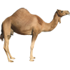 Camel - 动物 -