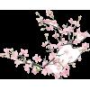 Cherry Blossoms - Rośliny -