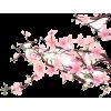 Cherry Blossoms - Plants -