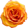 Color Rose - Pflanzen -