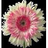DAISY Gerbera Flower - Artikel -