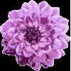 Dahlia - Biljke -