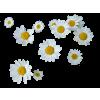 Daisies - Plantas -