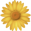 Daisy - Plantas -