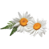 Daisy - Piante -