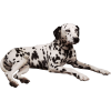 Dalmatian dog - Animali -