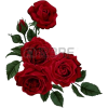 Dark Red Rose Corner - Plants -