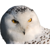Owl White - Životinje -
