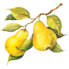 Pears - Fruit -
