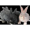 Rabbits - Animali -