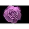 Rose - Piante -