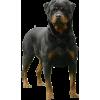 Rottweiler - Animals -