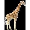 žirafa - Animali -