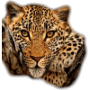 leopard - Životinje -