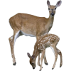 Deer - Animals -