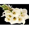 Kala - Plants -