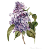 FLOWERS LILAC - Pflanzen -