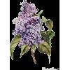 FLOWERS LILAC - Rośliny -