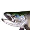 Fish - Zwierzęta -