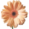 Flower daisy - Plants -