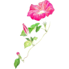 Flower pink ,morning glory - Plants -