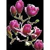 Flower purple magnolia - Plants -