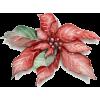 Flowers/Christmas - 植物 -
