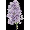 Flowers lilac - Plants -