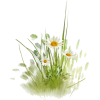 Fotki daisies - 植物 -