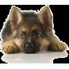 German shepherd puppy - Animals -
