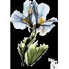 Gracious Geranium • Albert Koetsier - Biljke -