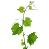 Grapes Leaves - Plants -