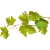 Grapes Leaves - 植物 -