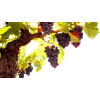 Grapes Leaves - Растения -