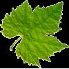 Grapevine Leaf - Plants -