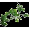 Grapevine Leaf - 植物 -