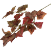 Grapevine Leaves - Plants -