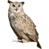 Great horned owl - Animals -